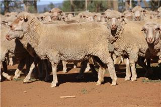 200 SIL Ewes