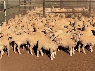 195 Future Breeder Ewe Lambs