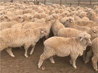 380 Store Wether Lambs