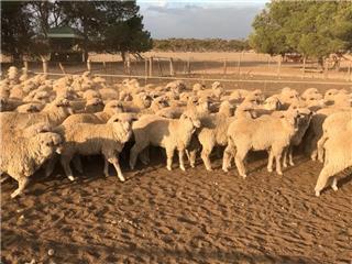 150 Ewe Lambs