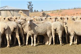 390 SIL Ewes