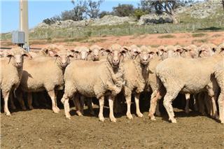 590 SIL Ewes