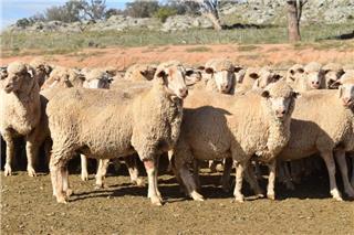 560 SIL Ewes