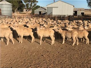 320 Future Breeder Ewe Lambs