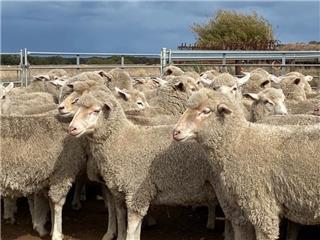 125 SIL Ewes