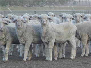 375 Woolgrower Wether Lambs