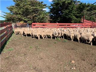 200 Future Breeder Ewe Lambs