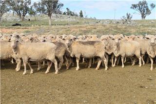 325 SIL Ewes