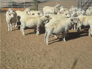 126 Station Mated Ewes