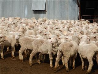 396 Woolgrower Wether Lambs