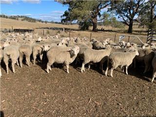 140 Future Breeder Ewe Lambs