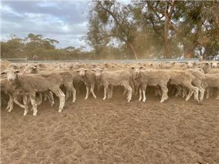 450 Store Wether Lambs