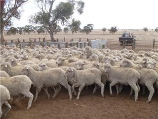 475 Store Wether Lambs