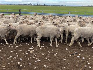 154 SIL Ewes