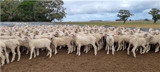 264 Wether Lambs