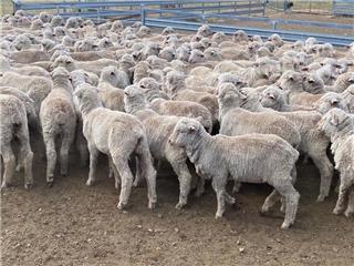 460 Woolgrower Wether Lambs