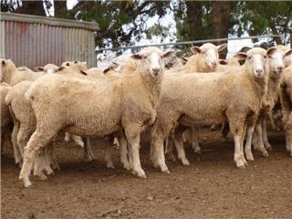 129 Future Breeder Ewe Lambs