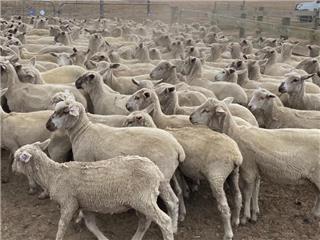 193 Mixed Sex Store Lambs