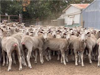 196 Future Breeder Ewe Lambs