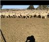 421 Future Breeder Ewe Lambs
