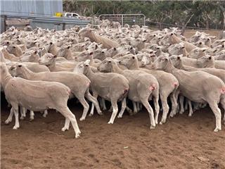 277 SIL Ewes