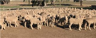 385 Store Wether Lambs