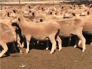 170 SIL Ewes