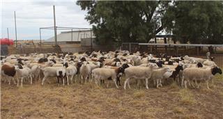 215 Future Breeder Ewe Lambs