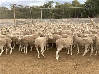 235 SIL Ewes