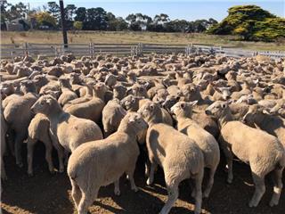 340 Lambs
