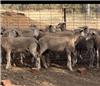 85 Mixed Sex Store Lambs
