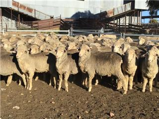 373 Wether Lambs