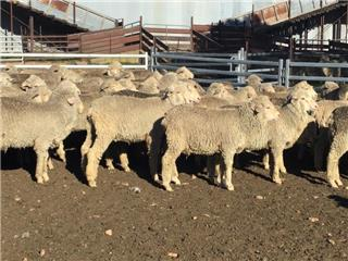 140 Wether Lambs