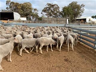 261 SIL Ewes