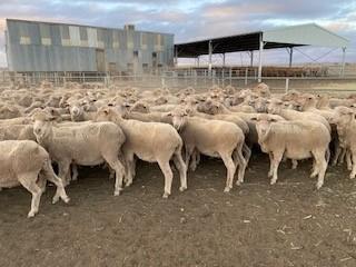 233 SIL Ewes
