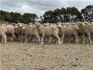 440 Woolgrower Wether Lambs