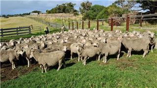 173 SIL Ewes