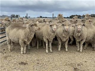 256 SIL Ewes