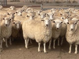 338 SIL Ewes