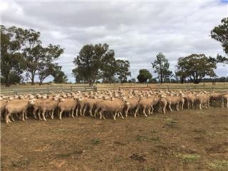 180 SIL Ewes