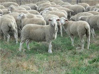 215 Ewe Lambs