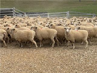 113 SIL Ewes