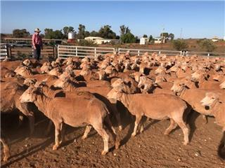 318 Station Mated Ewes