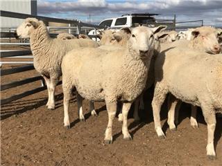 110 SIL Ewes