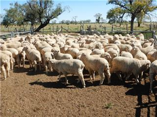 640 Store Wether Lambs