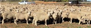 355 Ewes
