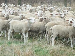 175 Ewe Lambs