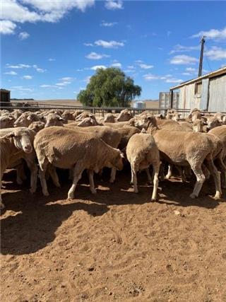 74 SIL Ewes