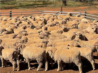 219 Wether Hoggets & Lambs