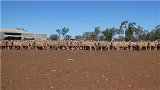 440 NSM Ewes